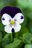 Viola Cornuta - Spring Perennials Stock Photo