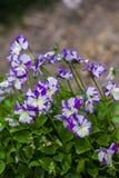 Viola cornuta Royalty Free Stock Photos