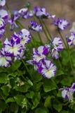 Viola cornuta Stock Images