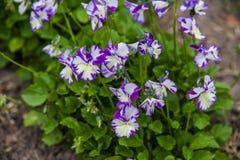 Viola cornuta Royalty Free Stock Image
