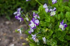 Viola cornuta Royalty Free Stock Photography