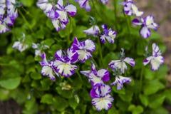 Viola cornuta Royalty Free Stock Images