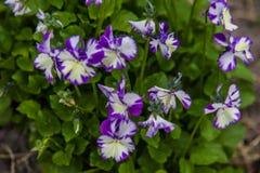 Viola cornuta Stock Photo