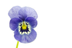 Viola cornuta flower Royalty Free Stock Photo