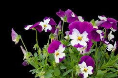 Viola cornuta flower Stock Photo
