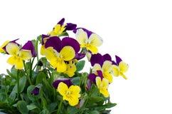 Viola cornuta flower. Isolated on white background Stock Images