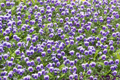 Viola cornuta flowers Royalty Free Stock Photo
