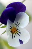 Viola Cornuta - Spring Perennials Royalty Free Stock Photography