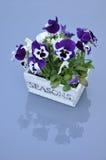 Viola Cultivar Royalty Free Stock Image