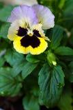 Viola de la violeta de jardín tricolora Imagen de archivo
