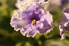 Viola del fiore Fotografia Stock