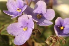 Viola del fiore Fotografie Stock Libere da Diritti