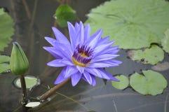 Viola del fiore di Lotus in fresco giallo Fotografia Stock Libera da Diritti
