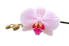Viola dell'orchidea Immagine Stock