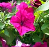 Viola della petunia Immagine Stock