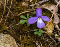 Viola di Birdfoot - pedata della viola immagine stock