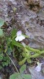 Viola di Cazorla fotografie stock