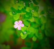 Viola di giardino Londra Fotografia Stock Libera da Diritti