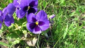 Viola do roxo da flor Fotografia de Stock Royalty Free