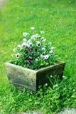 Viola en crisol de madera Imagen de archivo libre de regalías