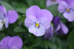 Viola floreciente imagen de archivo