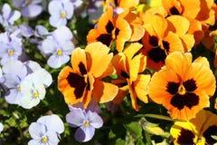 A viola floresce, o gênero tem aproximadamente quatro cem espécies que variam na cor e grandes Foto de Stock Royalty Free