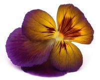 Viola flowe Royalty Free Stock Image
