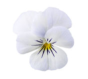 Viola flower Stock Photography