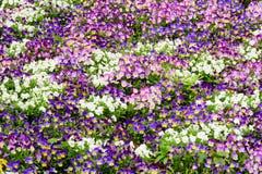 Viola flower bed Stock Photos