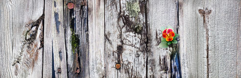 Viola flower  blossom on  old wooden pier boards Stock Photo