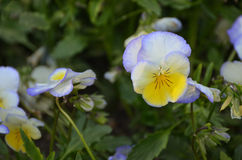 Viola flower. Close up of blue and yellow viola flower Stock Photography