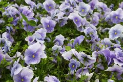 Viola flower field Royalty Free Stock Image