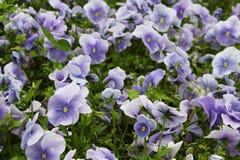 Viola flower field Royalty Free Stock Image