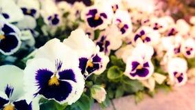 Viola flower Stock Image