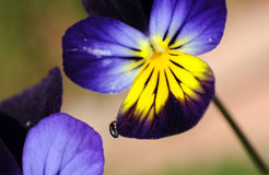 Viola flower with insect Stock Images