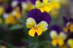A viola flower Royalty Free Stock Photos