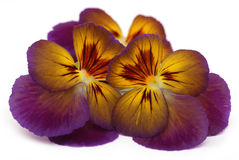 Viola flower Stock Images