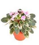 Viola flower in a pot Stock Photos