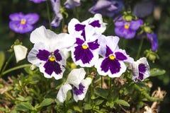 Viola flower Royalty Free Stock Image