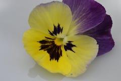 Viola flower yellow purple Stock Image