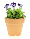 Viola in a flowerpot. Pictured viola in a flowerpot in a white background royalty free stock photos