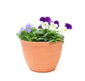 Viola in a flowerpot. Pictured viola in a flowerpot in a white background royalty free stock photo