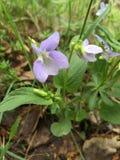 Viola Flowers imágenes de archivo libres de regalías