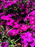 Viola Flowers fotografie stock