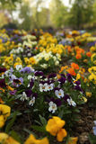 Viola flowers. Garden park with Viola flowers in lots of different colors Royalty Free Stock Image