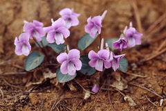 Viola flowers Stock Photo