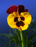 Viola Flowers Royaltyfri Bild