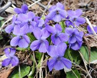 Viola flowers Stock Image