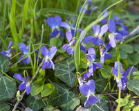 Viola flowers in grass Stock Image