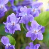 Viola flowers Royalty Free Stock Photo